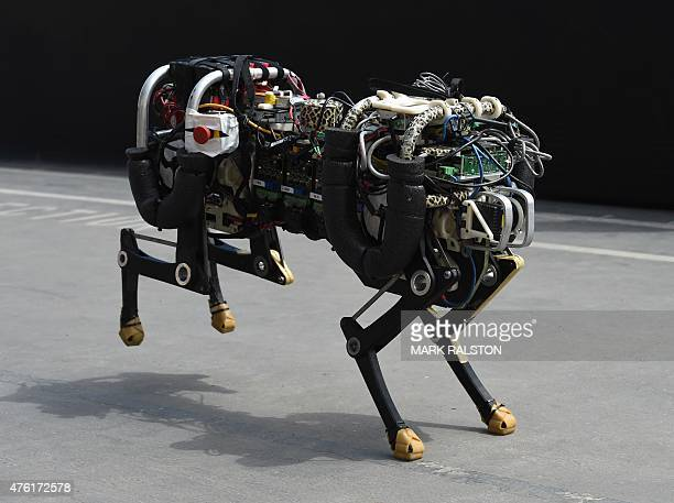 A robotic cheetah runs during a demonstration at the finals of the DARPA Robotics Challenge at the Fairplex complex in Pomona California on June 6...