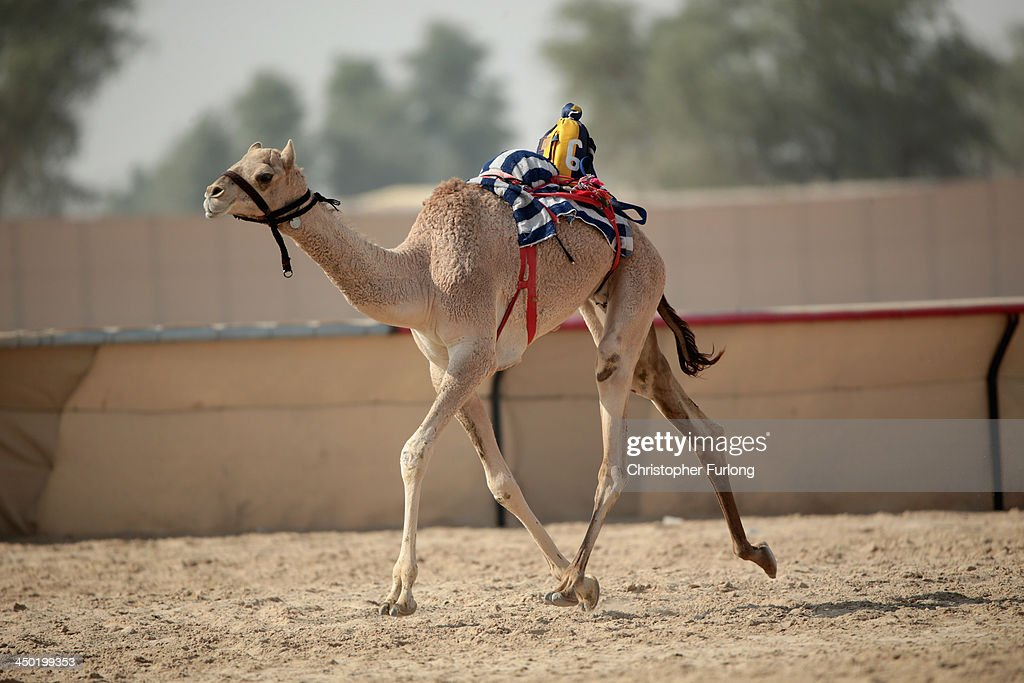 A robotic jockey controls a camel at Dubai Camel Racing Club during the Al Marmoum camel racing season on November 17, 2013 in Dubai, United Arab Emirates. Camel racing is one of the oldest sports in the Middle East. Historically children from India were used as jockeys on the camels until it was outlawed in 2002. Today robot jockeys are used and include shock absorbers and GPS tracking systems. The camel's owners control the robot's whips from their speeding four wheel drives at the side of the track. Throroughbred racing camels can be as valuable as one million US dollars.