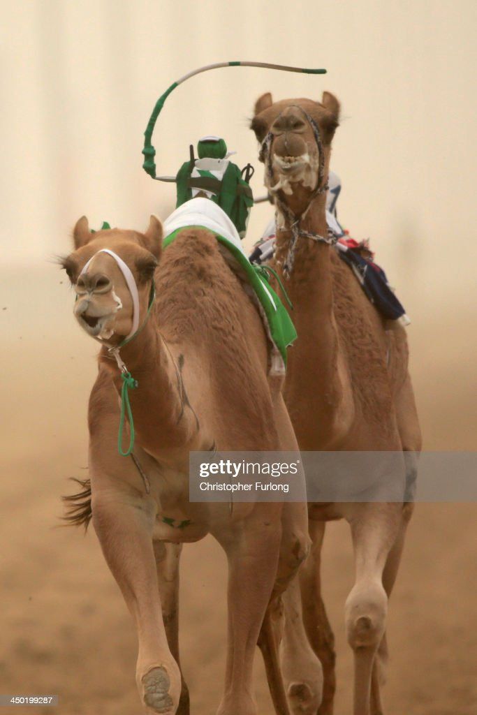 A robotic jockey whips a camel at Dubai Camel Racing Club during the Al Marmoum camel racing season on November 17, 2013 in Dubai, United Arab Emirates. Camel racing is one of the oldest sports in the Middle East. Historically children from India were used as jockeys on the camels until it was outlawed in 2002. Today robot jockeys are used and include shock absorbers and GPS tracking systems. The camel's owners control the robot's whips from their speeding four wheel drives at the side of the track. Throroughbred racing camels can be as valuable as one million US dollars.