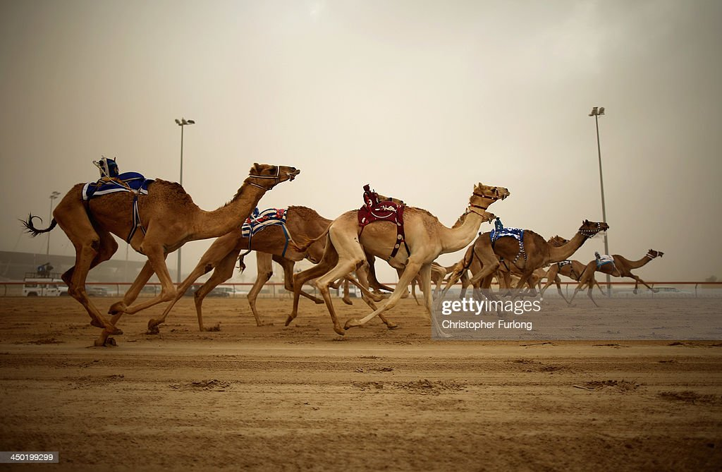 Robotic jockeys control camels during a race at Dubai Camel Racing Club during the Al Marmoum camel racing season on November 17, 2013 in Dubai, United Arab Emirates. Camel racing is one of the oldest sports in the Middle East. Historically children from India were used as jockeys on the camels until it was outlawed in 2002. Today robot jockeys are used and include shock absorbers and GPS tracking systems. The camel's owners control the robot's whips from their speeding four wheel drives at the side of the track. Throroughbred racing camels can be as valuable as one million US dollars.