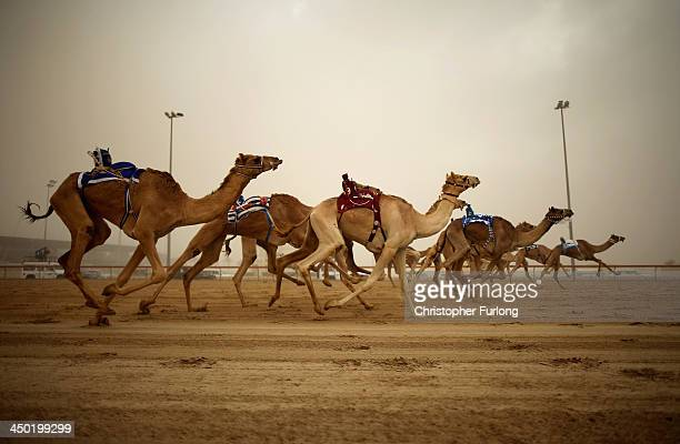 Robotic jockeys control camels during a race at Dubai Camel Racing Club during the Al Marmoum camel racing season on November 17 2013 in Dubai United...