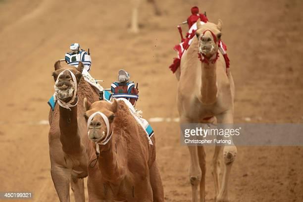 Robotic jockeys control camels during a race at Dubai Camel Racing Club during the Al Marmoum camel racing season on November 17 2013 in Dubai United...