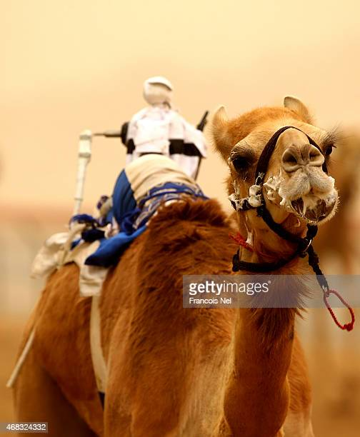 Robotic jockeys control camels during Al Marmoom Heritage Festival at the Al Marmoom Camel Racetrack on April 2 2015 in Dubai United Arab Emirates...