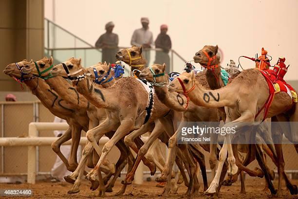 Robotic jockeys control camels during Al Marmoom Heritage Festival at the Al Marmoom Camel Racetrack on April 2 2015 in Dubai United Arab Emirates...