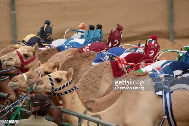 Robotic jockeys sit on camels waiting for the start of a race at Dubai Camel Racing Club during the Al Marmoum camel racing season on November 17...