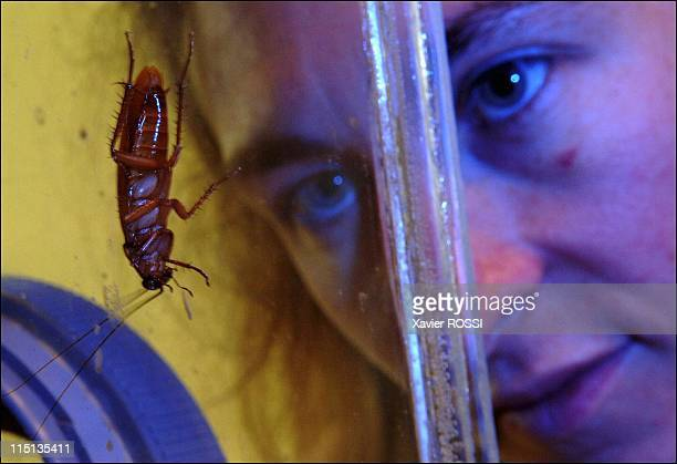 Robots manage to infiltrate a group of insects in Rennes France on June 21 2005 Thousands of cockroaches are bred in vivariums maintained at the...