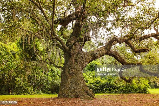 robust oak tree - live oak tree stock pictures, royalty-free photos & images
