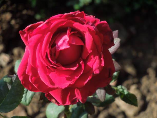 Robust red rose flower in full bloom. Rosa. Rosaceae family.