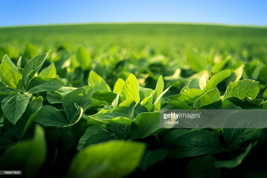 Robust soy bean crop basking in the sunlight : Stock Photo