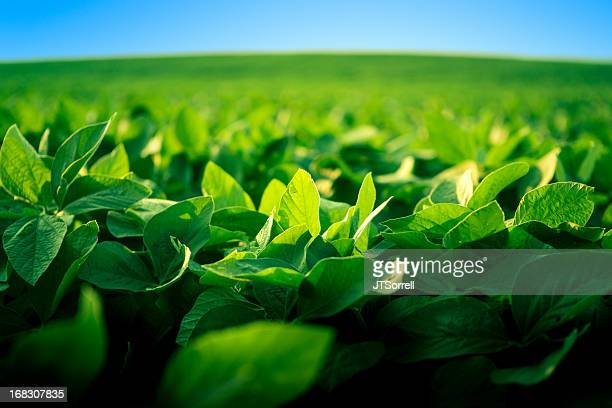 robust soy bean crop basking in the sunlight - gewas stockfoto's en -beelden