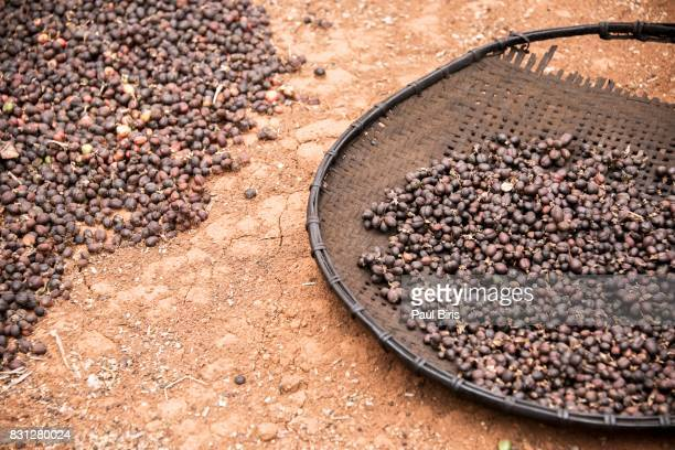 Robusta coffee drying  on a basket, Bolaven Plateau, Laos