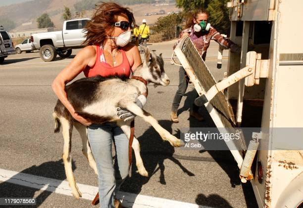 CA OCTOBER 30 2019 Robyn Phipps left Laura Horvitz rescue goats from a ranch along Tierra Rejada Road in Simi Valley California on October 30 2019
