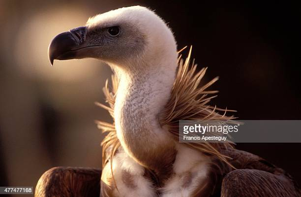 Rocamadour FranceHimalayan vultureGyps himalayensisThe Old Worlds largest vulture lives in high mountains as its name impliesIt is a cousin of...