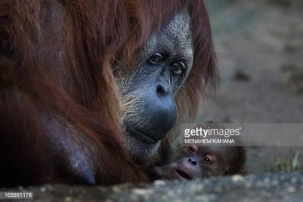 Rochale a 41yearold Sumatran Orangutan holds her newborn baby at the Ramat Gan Safari park near Tel Aviv on August 12 2010AFP PHOTO/MENAHEM KAHANA