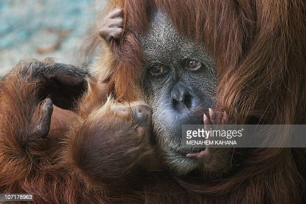 Rochale a 41yearold Sumatran Orangutan holds her newborn baby at the Ramat Gan Safari park near Tel Aviv on August 12 2010AFP PHOTO/MENAHEM KAHANA
