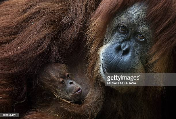 Rochale a 41yearold Sumatran Orangutan holds her newly born baby at the Ramat Gan Safari park near Tel Aviv on August 12 2010AFP PHOTO/MENAHEM KAHANA