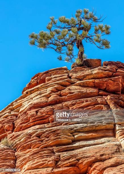 rock and tree - ロックストラータ ストックフォトと画像