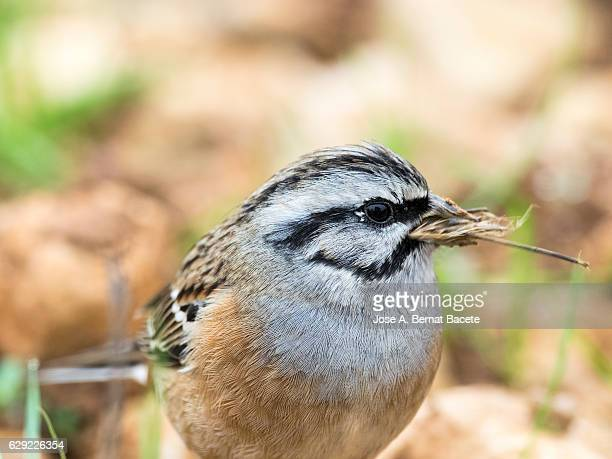 Rock Bunting (Emberiza cia) male, The first plane of the bird with dry grasses bitten in the beak  . Spain, Europe.