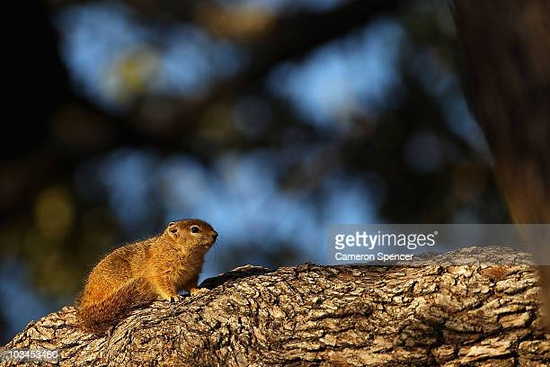 Rock dassie sits on a tree branch on July 19 2010 in the Edeni Game Reserve South Africa Edeni is a 21000 acre wilderness area with an abundance of...