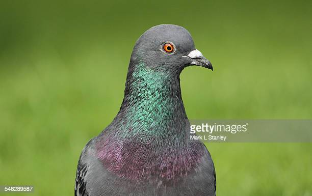rock dove, feral pigeon - columba livia - pigeon stock pictures, royalty-free photos & images