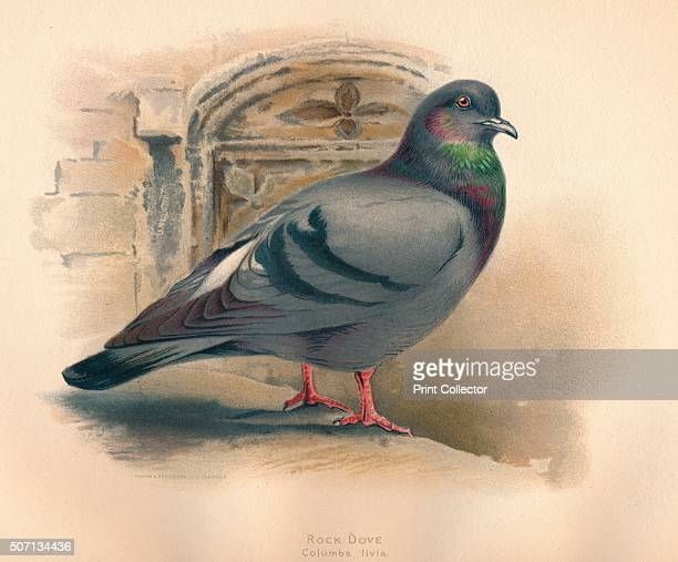 Rock Dove ' From The Game Birds and Wild Fowl of The British Islands by Charles Dixon illustrated by Charles Whymper [Pawson Brailsford Sheffield...