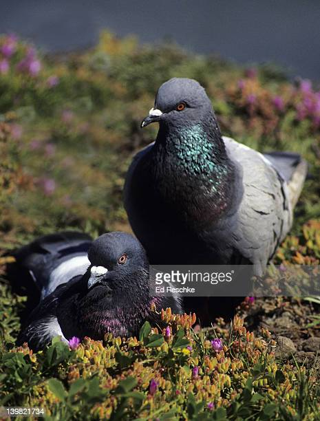 Rock Doves, Columba livia. The highly variable city pigeon. Widespread and common, especially in urban settings. Ice plant in foreground. Santa Cruz, California.