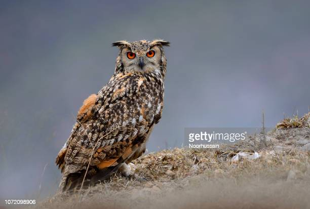 rock bengal eagle owl, aigle hibou, hibou, hibou grand-duc indien - hibou grand duc photos et images de collection