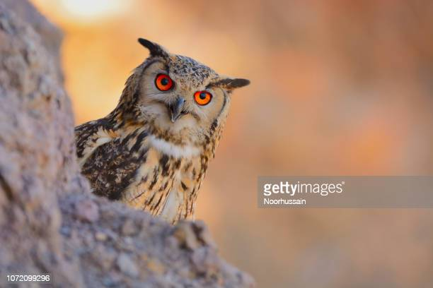 rock eagle owl, bengal eagle owl, eurasian eagle owl, indian eagle owl - gufo reale foto e immagini stock