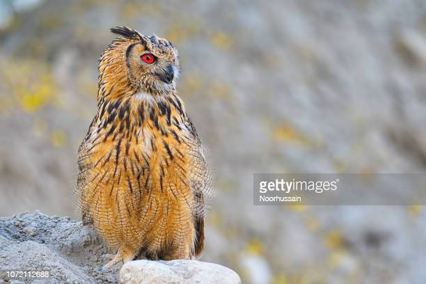 rock eagle owl, bengal eagle owl, eurasian eagle owl, indian eagle owl - yellow perch stock photos and pictures