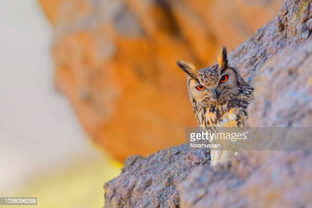 rock eagle owl, bengal eagle owl, eurasian eagle owl, indian eagle owl - animal behaviour stock pictures, royalty-free photos & images