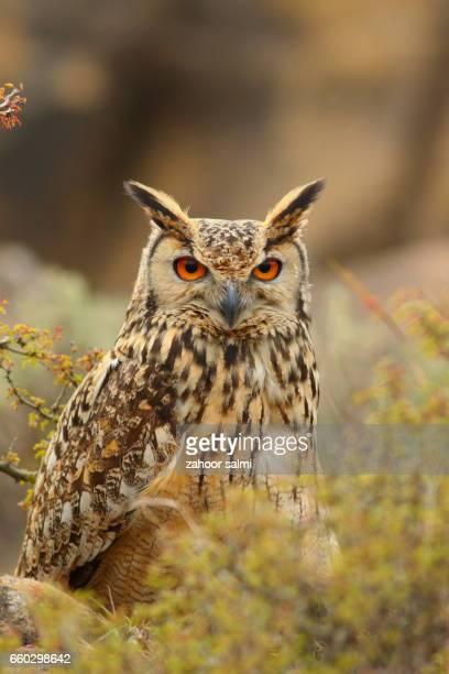 rock eagle owl - hibou grand duc photos et images de collection