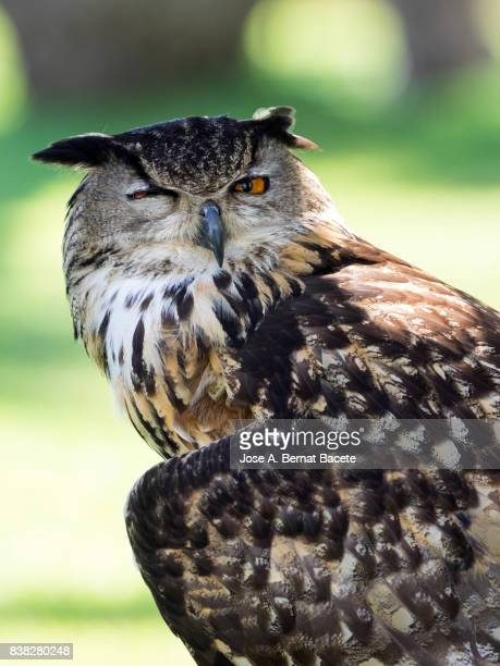 Rock Eagle Owl (Bubo bengalensis), with one eye open and the other closed.  Pyrenees, France.
