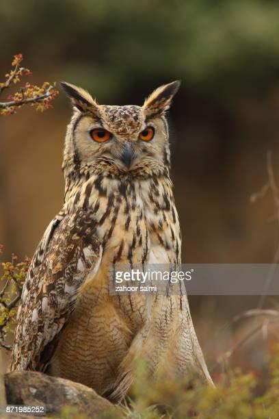 rock eagle-owl - hibou grand duc photos et images de collection
