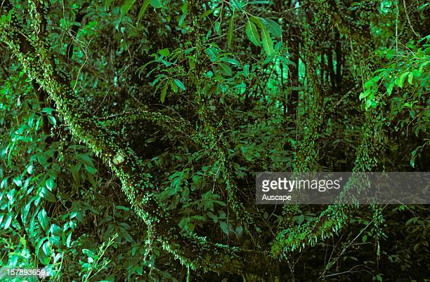 Rock felt fernPyrrosia rupestriscreeping rhizomatous fern commonly growing on rainforest trees but also in open forest and on rock facesEastern...