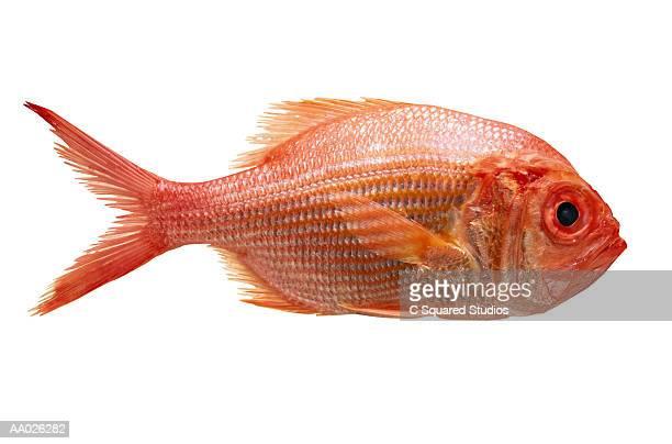 Rock Fish, Close-up