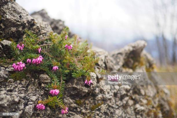 Rock formation with flowering heather close-up