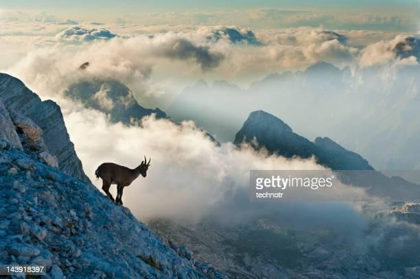 Rock goat on the mountain peak