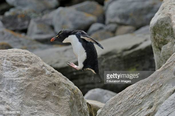 Rock hopper Penguin, Eudyptes chrysocome, New Island, Falklands.