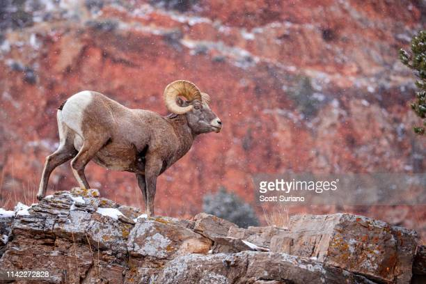 rock hopper - file:bighorn,_grand_canyon.jpg stock pictures, royalty-free photos & images