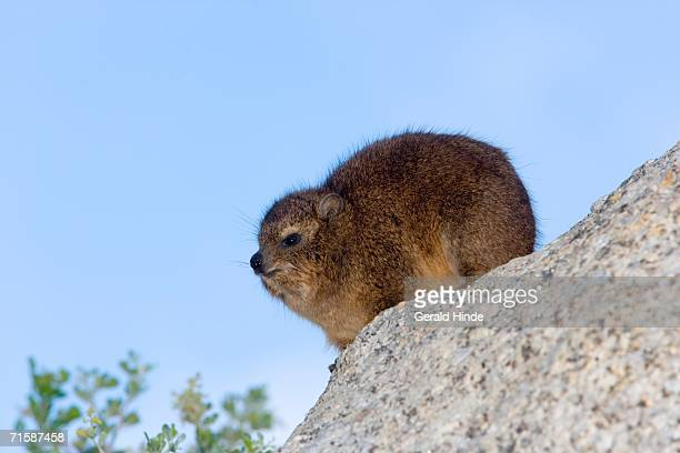Rock Hyrax (Procavia capensis) Against a Blue Sky