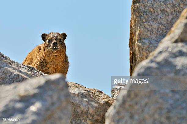Rock Hyrax / Cape Hyrax on rock Namibia
