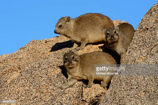 rock hyrax or cape hyrax -procavia capensis- basking in the sun on a rock, erongo region, namibia - erongo stock photos and pictures
