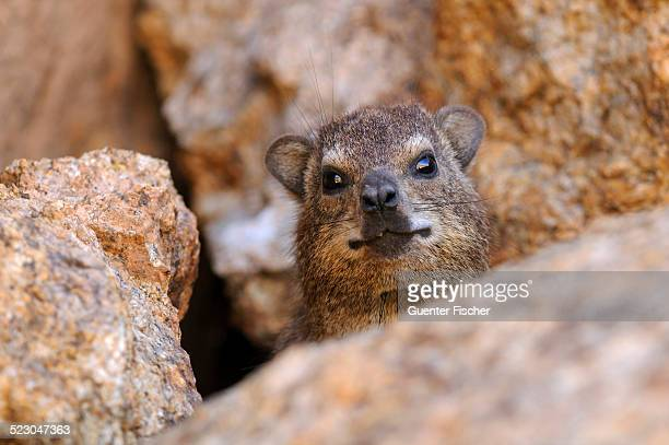 Rock Hyrax or Cape Hyrax -Procavia capensis- looking out from between rocks, Goegap Nature Reserve, Namaqualand, South Africa, Africa