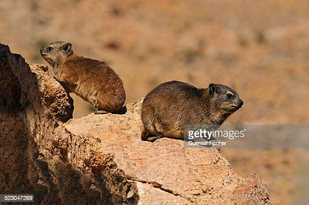 rock hyrax or cape hyrax -procavia capensis-, mother and cub, goegap nature reserve, namaqualand, south africa, africa - ナマクワランド ストックフォトと画像
