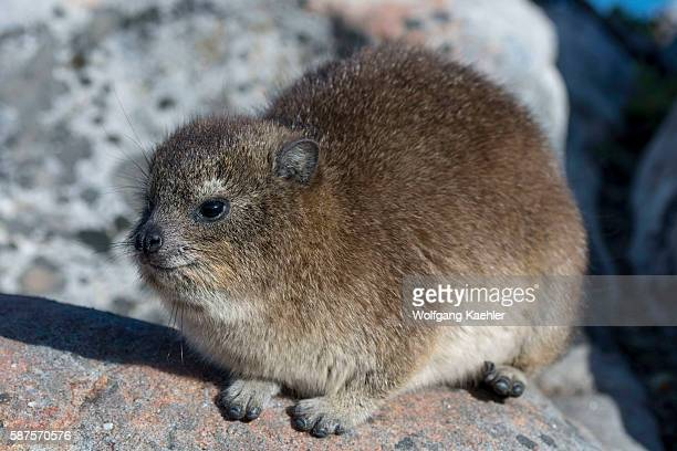 Rock hyrax or dassie is warming up in the morning sunshine on top of Table Mountain in Cape Town South Africa