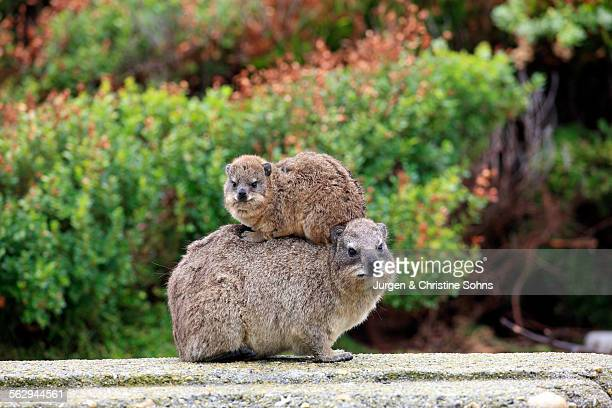 Rock Hyrax -Procavia capensis- adult female with young on back, social behavior, Bettys Bay, Western Cape, South Africa