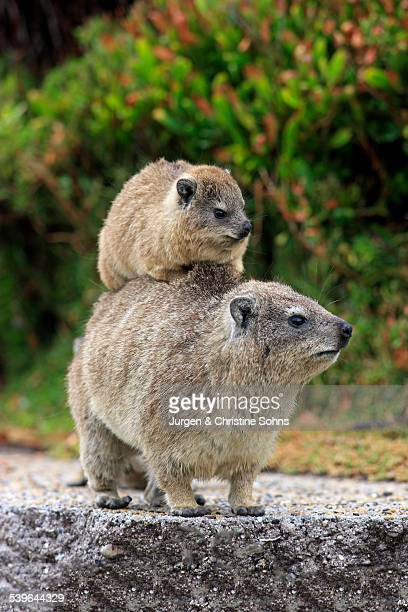 Rock Hyrax -Procavia capensis-, female with young on her back, social behaviour, Bettys Bay, Western Cape, South Africa