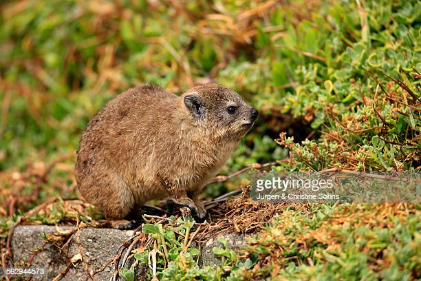 Rock Hyrax -Procavia capensis-, young, Bettys Bay, Western Cape, South Africa
