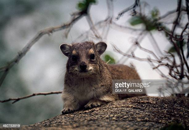 Rock hyrax Procaviidae