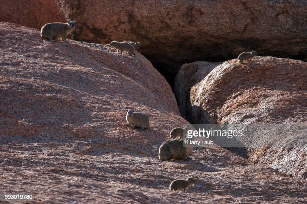 rock hyrax (procavia capensis), spitzkoppe, namibia - harry herd stock pictures, royalty-free photos & images